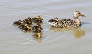 Momma and Ducklings by SalemCat