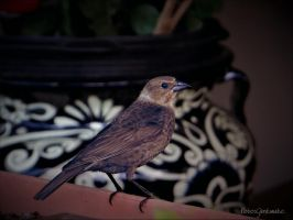 Backyard  bird 41..... by gintautegitte69