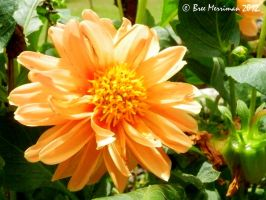 Orange Dahlia by BreeSpawn