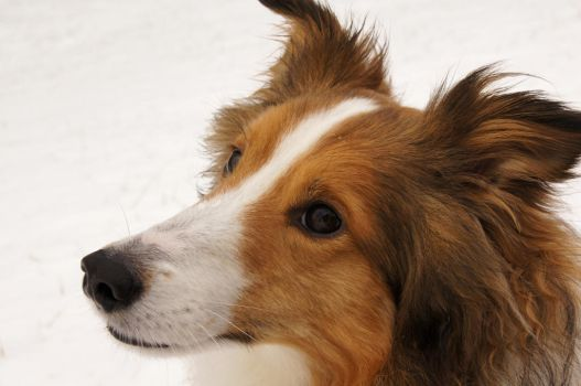 The Noble Sheltie II by Chezhnian