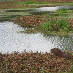 Two capybaras by mpsb