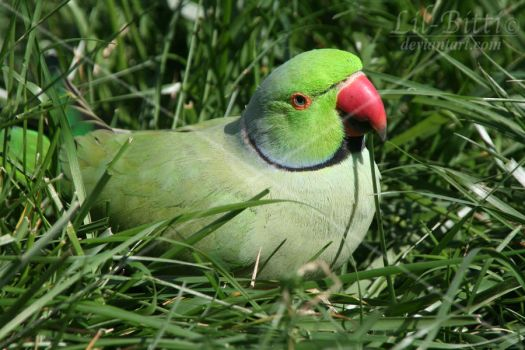 Indian Ringneck by lil-Bitti