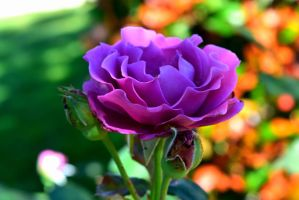 Ruffled Lavender Rose II by Meiprime31
