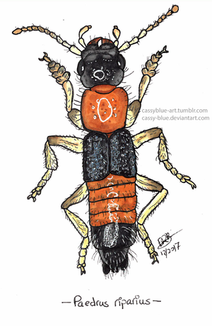 Rove Beetle 1 by Cassy-Blue