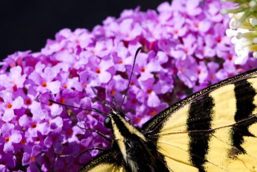 What's on the butterfly bush? by Cyberpriest