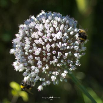 Bumblebees by MBKKR