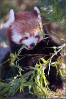 Red Panda 37-029 by Prince-Photography