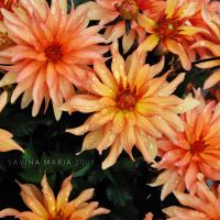 lovely flowers_12 by Marsulu