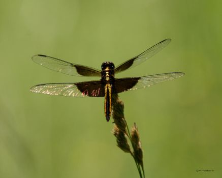 Dragonfly I by natureguy