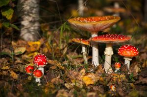 Amanita muscaria 7 by sulevlange