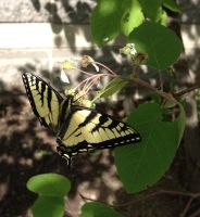 Eastern Tiger Swallowtail Butterfly 1 by cyborgparanoia