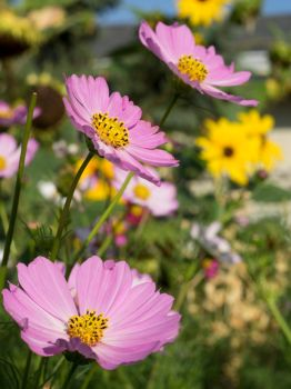 Three Pink Cosmos by reenaj