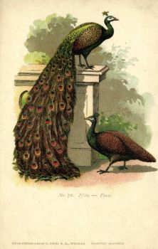 12 Things You Probably Didn't Know About Peacocks by Yesterdays-Paper