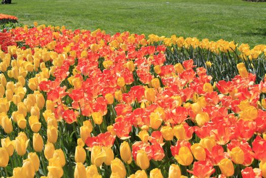 Sea of Tulips by Se7enVirtues