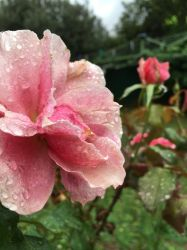 Rainy Rose 2 by Torrentially