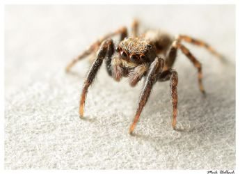 Jumping Spider by MrMeik