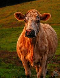 Cow HDR by XpiecemealX