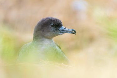 Breeding Shearwater by NicoFroehberg