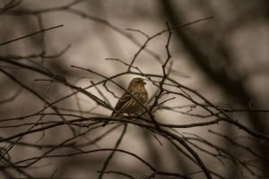 Female House Finch by ViridianRoses