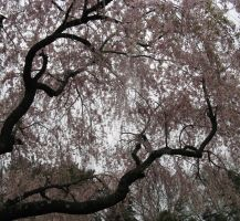 Cherry Trees by Forbearnan
