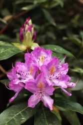 Purple Rhododendrons by AgiVega