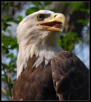 Bald Eagle by jmottola