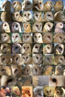 Barn Owl different angles ref by Ciameth