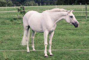 Grey Warmblood Mare Conformation Standing by LuDa-Stock