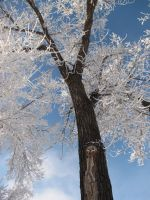 iced tree by greentreenharmony