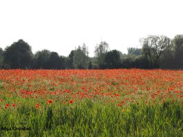 Poppies No. 2 by SymphonicA19