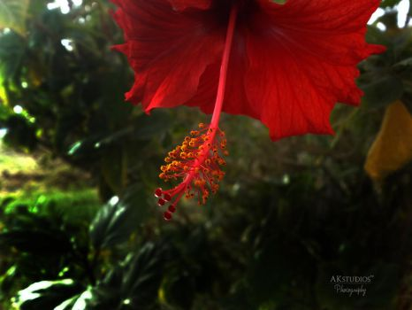 The Hibiscus by AK-studios