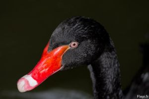 Black swan by flepi