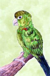 Henry the Conure by calzephyr
