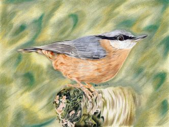 Nuthatch - colored pencils drawing by kad-portraits
