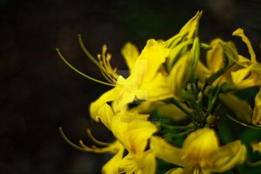 Rhododendron luteum by IcyCobweb