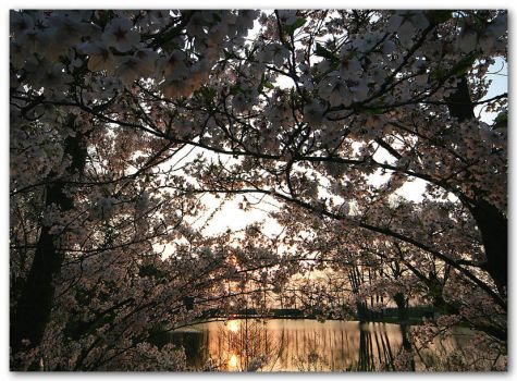 Cherry Blossom Trees II... by MichiLauke