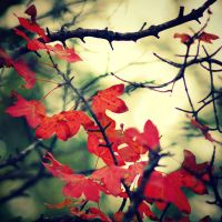 Red Leaves by LuizaLazar