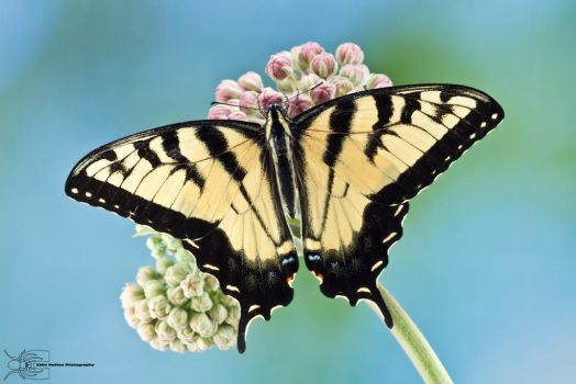Eastern Tiger Swallowtail - Papilio glaucus by ColinHuttonPhoto