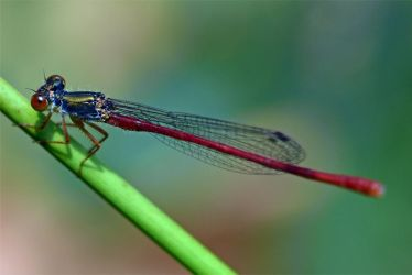 0993 Damselfly by RealMantis