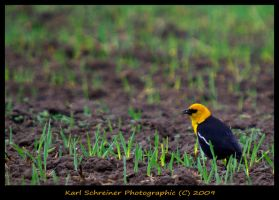Yellow Headed Blackbird by KSPhotographic