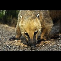 Animals 96  Ring-tailed Coati by cinnabarr