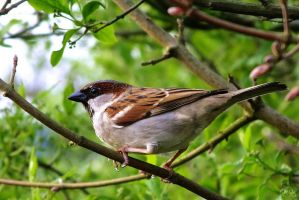 Male House Sparrow by EmMelody