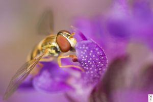 Stuff of Syrphid dreams by The-Dude-L-Bug