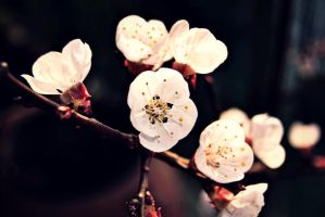 Apricot flower. by BexRainbow