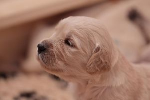 Golden Retriever Puppy by schNitzi