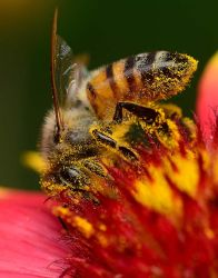 Well pollinated honey bee by nolra