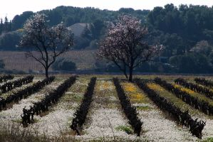 Flowering in the Vinyards by organicvision