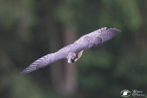 2012-102 Peregrine Falcon by W0LLE