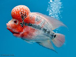 Flowerhorn Fish by basticelis