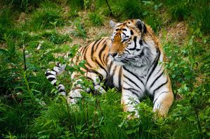 Amur Tiger by amrodel